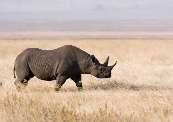 Ngorongoro_rhino